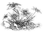 Edelweiss in etch style