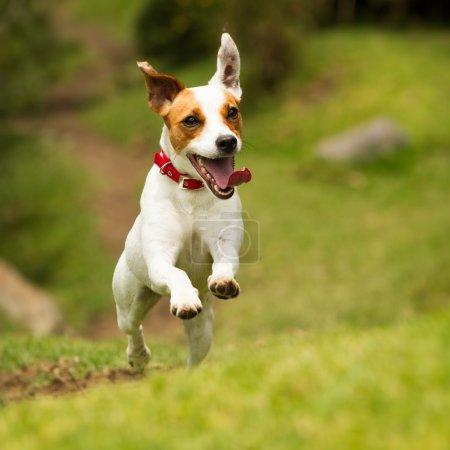 Photo pour Jack Russell Parson Terrier courir vers la caméra angle bas tir à grande vitesse - image libre de droit