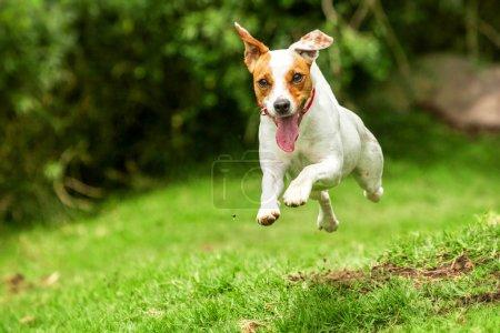 Photo pour Jack Russell Parson Terrier faiblit vers la caméra Angle de prise de vue haute vitesse - image libre de droit