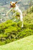 Jack Russell Terrier Jumping Around