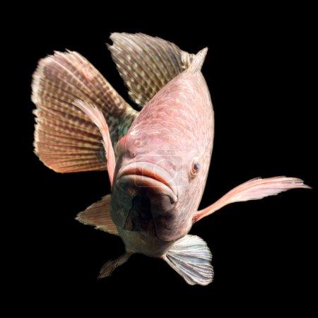 Photo pour Coup de haute qualité d'un grand Tilapia environ cinq livres de poisson - image libre de droit