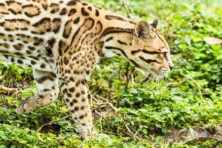 Photo pour Pistage de l'ocelot leopardus pardalis dans la forêt amazonienne dense - image libre de droit