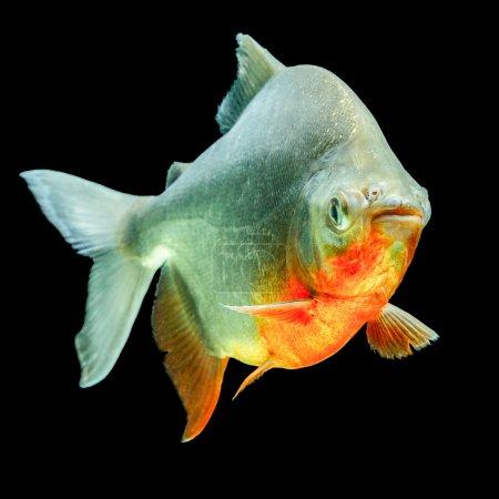 Photo pour Profil de poisson Cachama ou Tambaqui isolé sur le tournage de l'aquarium Black Studio - image libre de droit