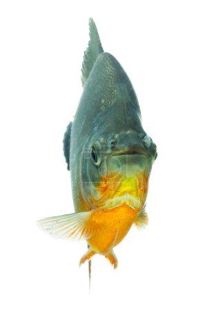 Photo pour Tambaqui poisson isoler sur blanc faible profondeur de champ mettant l'accent sur les yeux - image libre de droit