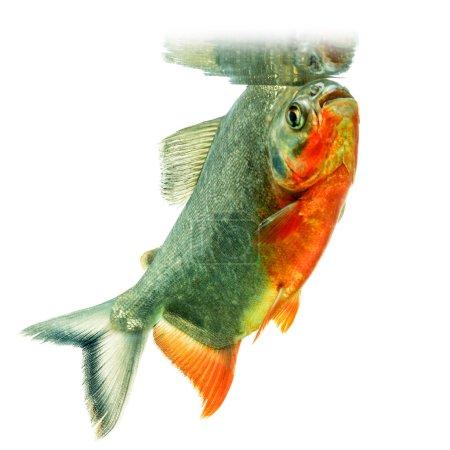 Photo pour Tambaqui poisson miroité sur l'eau Surface Studio Aquarium Shot - image libre de droit
