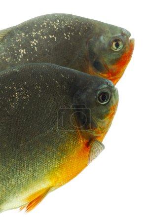 Photo pour Tambaqui poisson isolé sur blanc Studio Aquarium Shot - image libre de droit