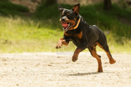 Off Leash Rottweiler Dog