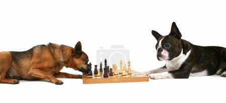 Two dogs playing chess