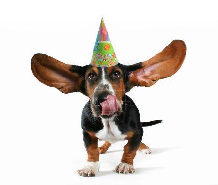 Basset hound with birthday hat
