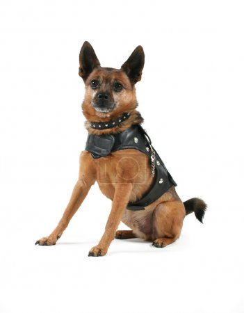Dog in leather motorcycle vest