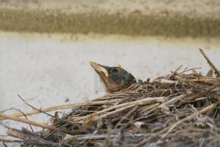 Nestling in nest