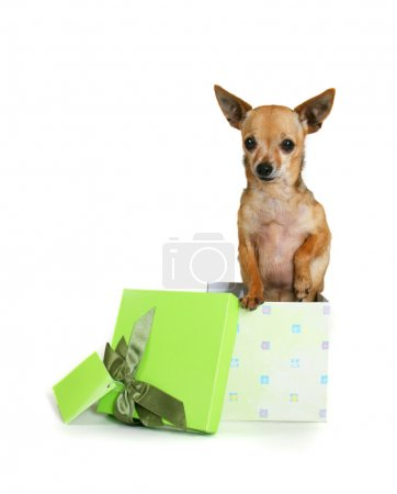 Chihuahua in small box