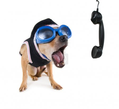 Photo for Tiny chihuahua with goggles and jacket on the phone - Royalty Free Image