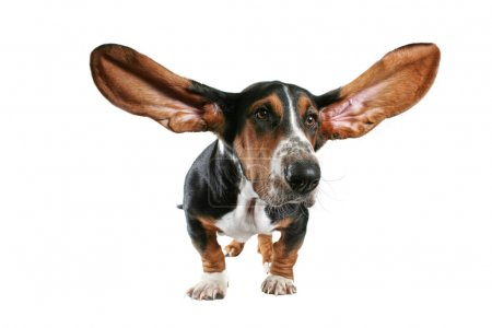Basset hound with big ears