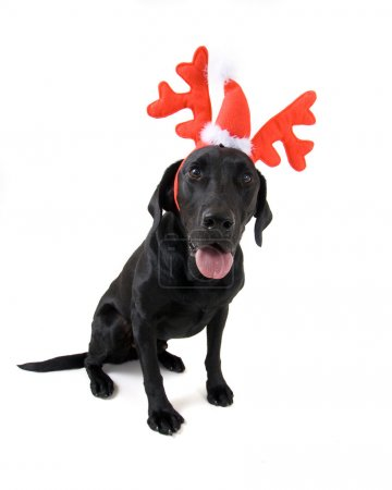 Dog dressed in reindeer antlers