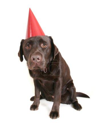 Photo pour Un laboratoire de chocolat avec un chapeau de fête sur - image libre de droit