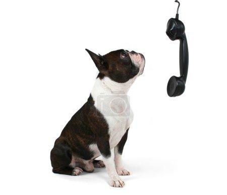 Boston terrier talking on phone