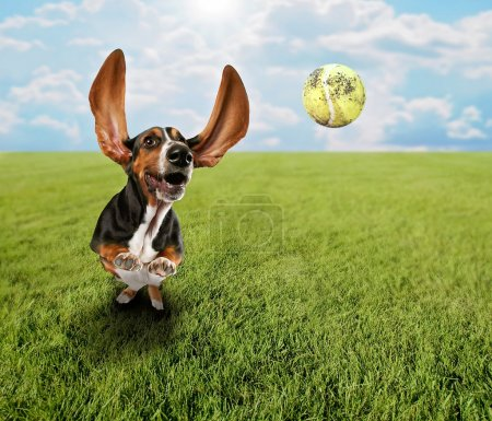 Photo for A cute basset hound chasing a tennis ball in a park or yard on the grass - Royalty Free Image
