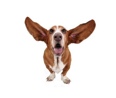 Funny basset hound