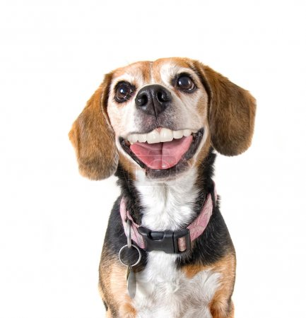 Beagle with a big grin