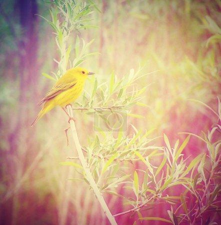 Photo pour Un chardonneret jaune sur une branche réalisée avec un filtre instagram vintage rétro - image libre de droit