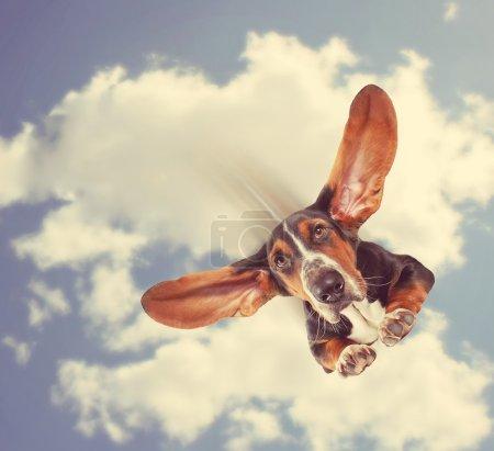 Basset hound flying through air