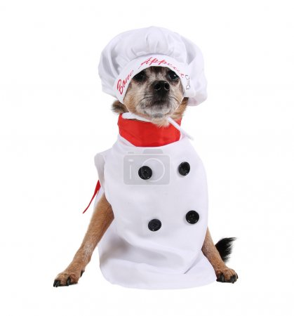 Chihuahua in chef costume