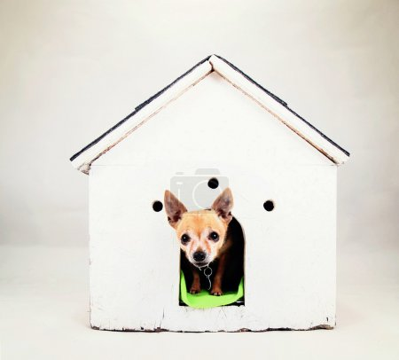 Chihuahua in dog house