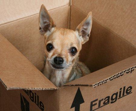 Tiny chihuahua in box
