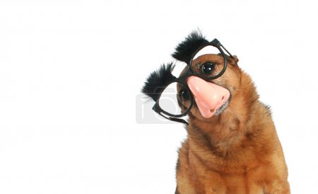 Chihuahua with glasses and eyebrows