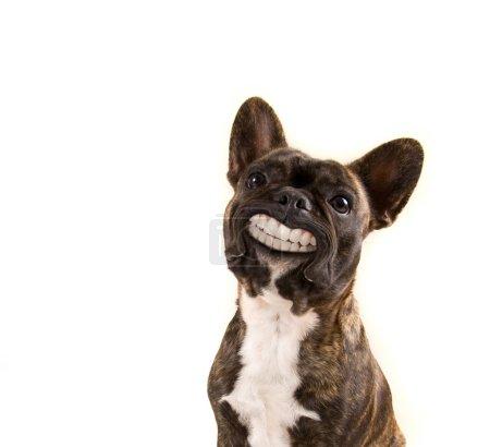 Photo pour Un bouledogue français avec un grand sourire isolé sur fond blanc - image libre de droit
