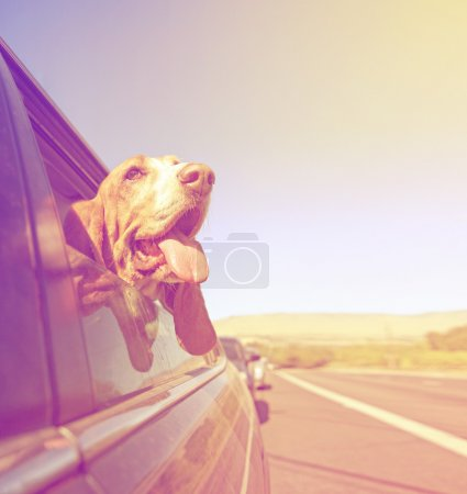 Basset out of car window and tongue