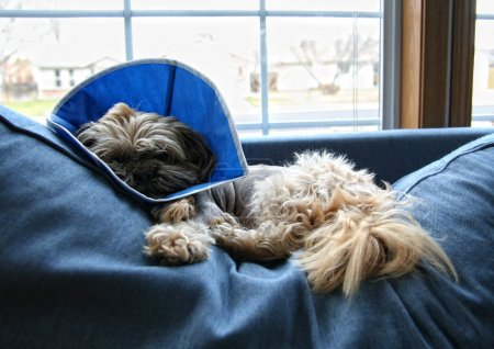 Dog with cone on head after surgery