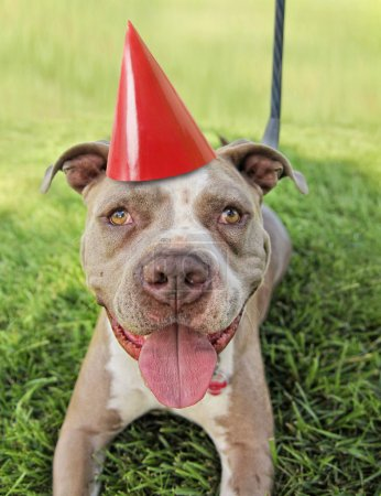 Pit bull terrier with party hat on