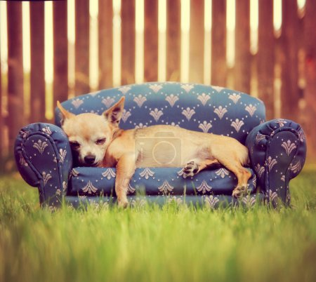 Cute chihuahua napping on couch