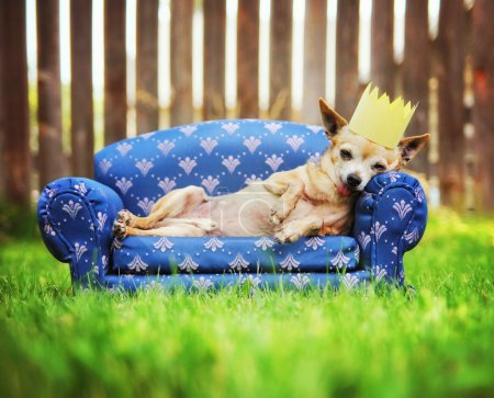 Chihuahua with crown napping on couch