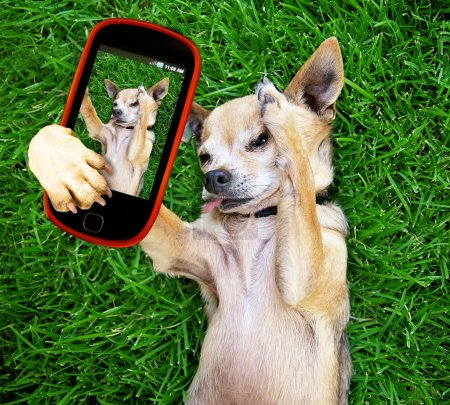 Cute chihuahua taking selfie