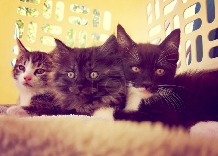 Three kittens in laundry basket
