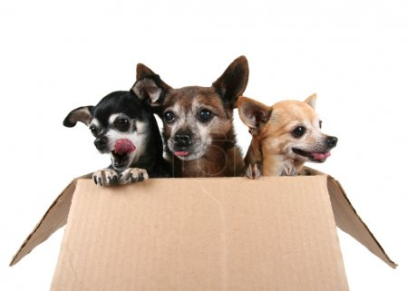 Photo for Three chihuahuas in a cardboard box - Royalty Free Image