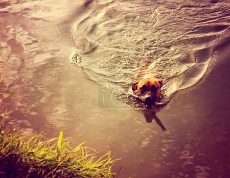 Photo for A pit bull boxer bringing a stick back toned with a retro vintage instagram filter - Royalty Free Image