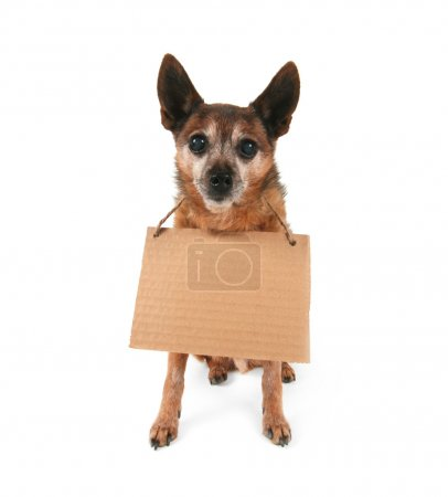 A goofy chihuahua holding a sign...