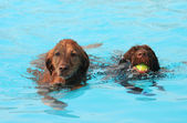 Two retrievers at pool