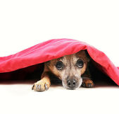 Chihuahua dog under red blanket