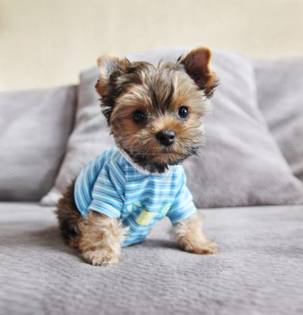 Yorkie in shirt on couch