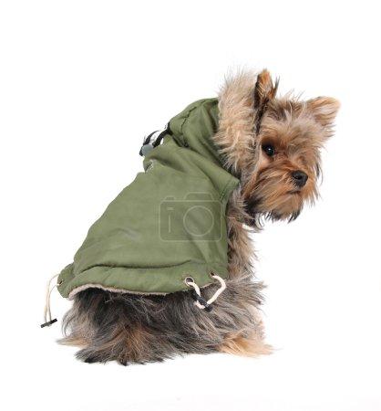 Yorkshire terrier in winter coat