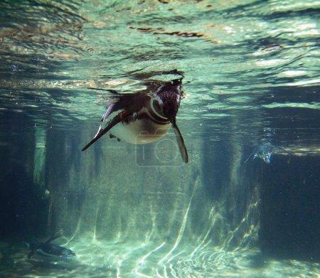 Photo pour Image de fond animaux série (pingouin) - image libre de droit