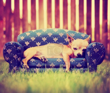 Chihuahua laying on couch