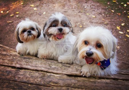 Three white mixed breed dogs