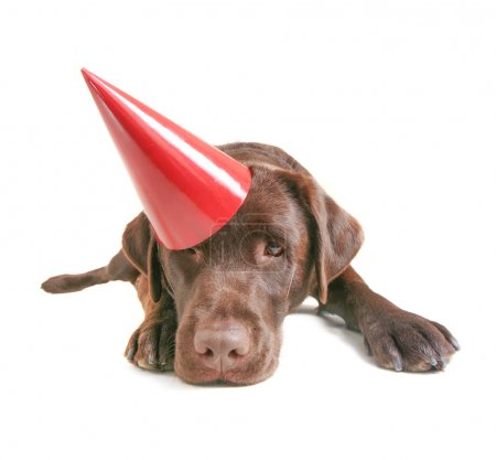 Chocolate lab with party hat