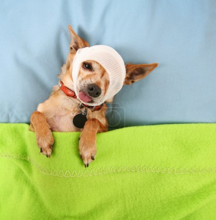 Chihuahua with bandage on head